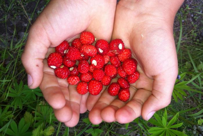 Søte markjordbær
