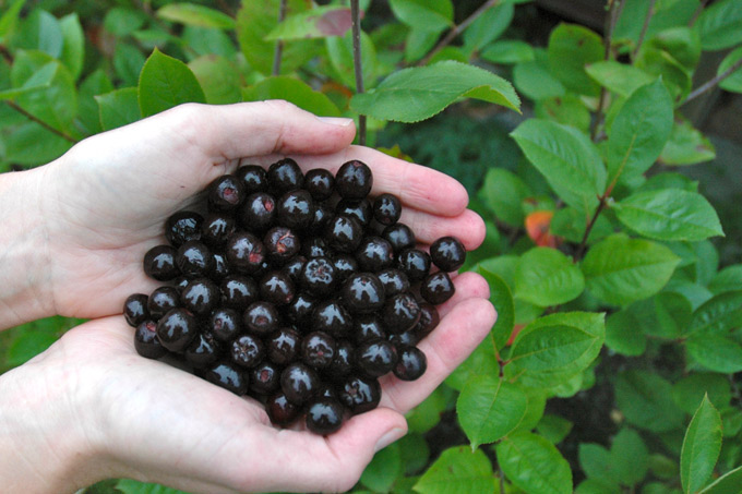 Aronia, naturens egen superfood